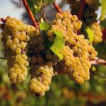 chardonnay-grapes-at-dusk